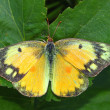 Stock Photo: Orange Sulphur Butterfly (Colias eurytheme)