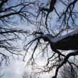 Stock Photo: Old Tree Creeping Skywards