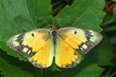 Orange Sulphur Butterfly (Colias eurytheme) — Stock Photo