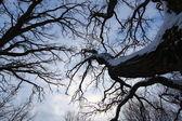 老树爬行天空 — 图库照片