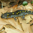 Royalty-Free Stock Photo: Spotted Salamander (Ambystoma maculatum)