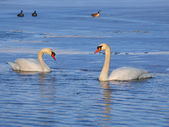 Mute Swan (Cygnus olor) - Illinois — Foto Stock