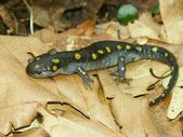Spotted Salamander (Ambystoma maculatum) — Stock Photo