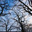 Old Tree Creeping Skywards — Foto de Stock