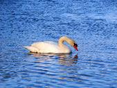 Mute Swan (Cygnus olor) - Illinois — Stock fotografie