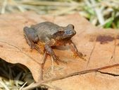 Spring Peeper (Pseudacris crucifer) — Stock Photo