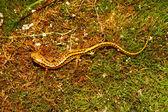 Long-tailed Salamander (Eurycea longicauda) — Stock Photo