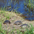 Stock Photo: Blandings Turtles Basking