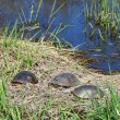 Blandings Turtles Basking — Stock Photo