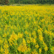 Goldenrod Field Scene — Stock Photo