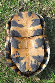 Blandings Turtle Plastron — Stock Photo