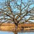 Bur Oak (Quercus macrocarpa) — Stock Photo