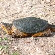 Stock Photo: Snapping Turtle (Chelydrserpentina)