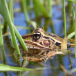 Northern Leopard Frog (Rana pipiens) — Stock Photo #6072924