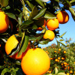 Florida Oranges — Stock Photo #6074694