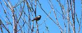 Black-capped Chickadee (Poecile atricapillus) — Stock Photo
