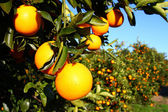 Florida Oranges — Stock Photo