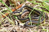 Garter Snake (Thamnophis sirtalis) — Stock Photo