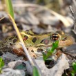 Northern Leopard Frog (Rana pipiens) — Stock Photo