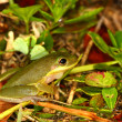 Squirrel Treefrog (Hyla squirella) - Stockfoto
