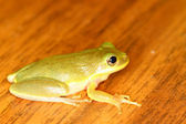 Squirrel Treefrog (Hyla squirella) — Foto de Stock