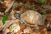 Box Turtle (Terrapene carolina) — Foto de Stock