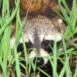 Royalty-Free Stock Photo: Raccoon Peering Through Vegetation