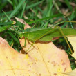 Broad-winged Katydid (Microcentrum rhombifolium) — Stock Photo