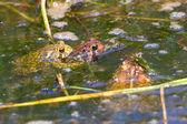American Toads (Bufo americanus) — Stock Photo