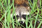 Raccoon Peering Through Vegetation — Stock Photo
