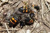 Burying Beetles (Nicrophorus orbicollis) — Fotografia Stock