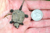 Tiny Snapping Turtle — Stock Photo