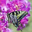 Butterfly on Azalea — Foto Stock
