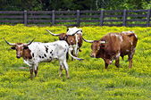 Longhorn Cattle — Stock Photo