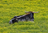 Longhorn Bull — Stock Photo