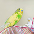 Yellow Parakeet on  a Cage — Stock Photo