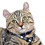 Cute Gray Tabby Cat — Stock Photo #6604472