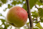 Apple at the tree — Stock Photo