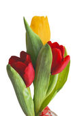 Three beautiful bright tulips — Stock Photo