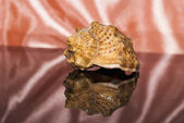 Big seashell with reflection — Stock Photo