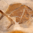 Stock Photo: Fossil fish