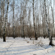 Birch wood in the winter in Moscow Region, Russia — Stock Photo