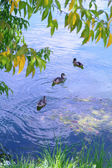 Ducks in the lake on the background foliage in summer — Stock Photo