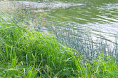 The grass on the lake in summer — Stock Photo