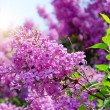 Lilac flowers with green leaves — 图库照片
