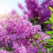 Lilac flowers with green leaves — ストック写真