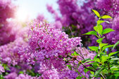 Lilac flowers with green leaves — Stock Photo