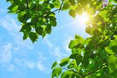Soleil et feuilles vertes — Photo