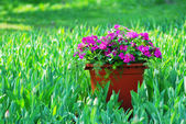 Flowerpot with petunia flowers and green leaves — Stock Photo
