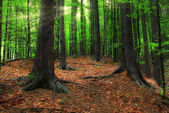 Carpathian forest and sun beams — Stock Photo